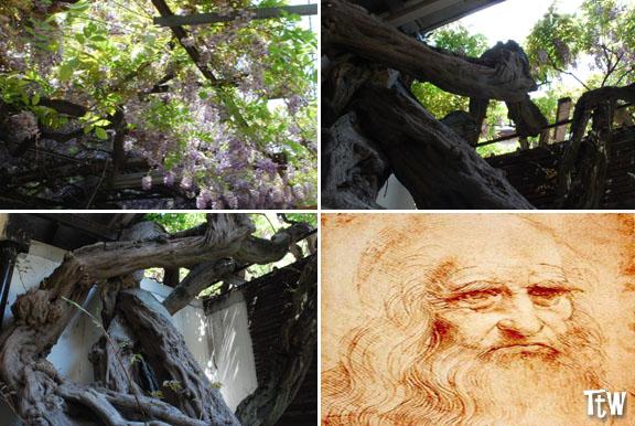 Glicine di Leonardo da Vinci - Milano, quartiere Morivione