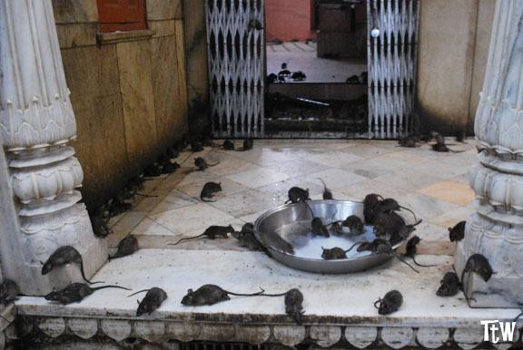 Karni Mata Temple - Deshnok, Rajasthan