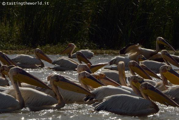Pellicani al santuario nazionale degli uccelli di Djoudj (Senegal)