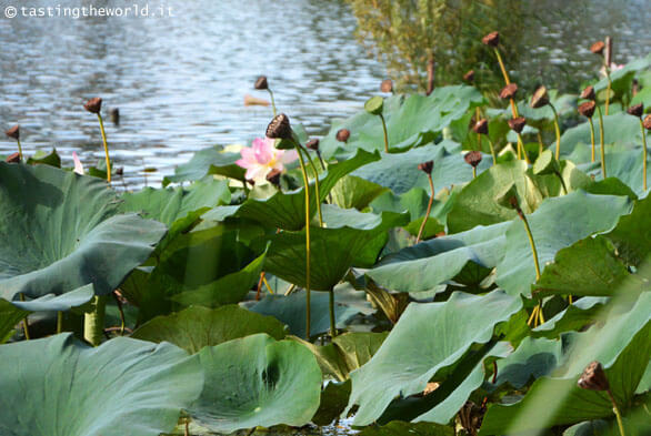Ninfee nel lago Superiore di Mantova