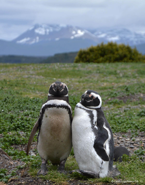 Pinguini a Isla Martillo, Ushuaia (Argentina)